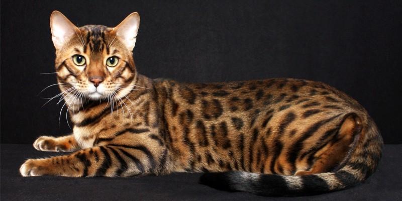 Oscar non luigi cos si chiama il gatto di gianfranco - Gatto disegno modello di gatto ...