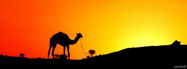 Cammello-deserto