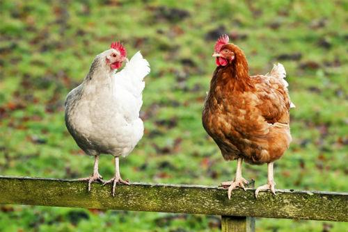 Risultati immagini per galline nascoste