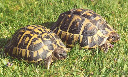 Uova di pasqua galline e tartarughe di tito tettamanti for Incubazione uova tartaruga