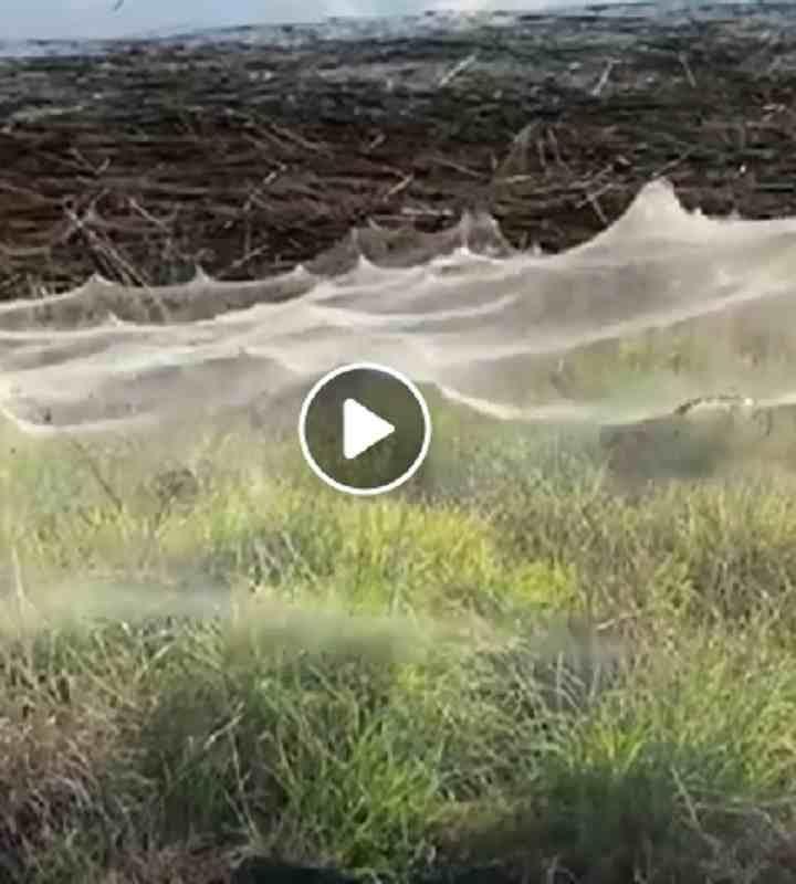Immense ragnatele nell'Australia alluvionata