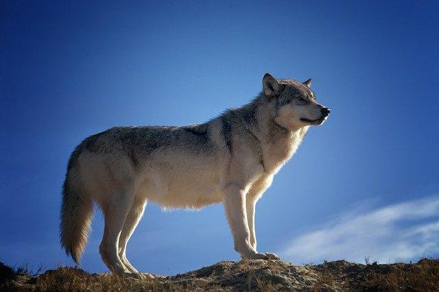 lupo piero marchesi